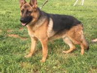 Beautiful male Shepherd, 100% german lines. Both
