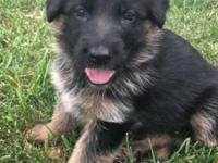 Pure breed German Shepherd Dogs. Parents are from