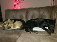 3 females 1 male AKC registered German Shepherd. Mom