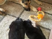 1 male 3 females German Shepherd Puppie mom black dad