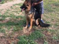 Beautiful long fur shepherd. AKC and wanting a great