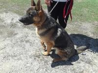 Blue and Tan Male AKC German Shepherd Puppy. You must