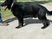 German Shepherd beautiful puppies all black, AKC POP,