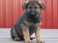 Kansas Puppy Male #2 is a playful, little guy that is
