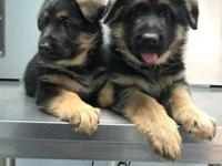 Beautiful Akc German shepherd female puppies available