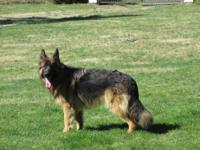Long Coat German Shepherd puppies males & females are