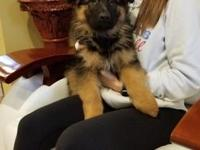 Purebred German shepherd puppy. Which AKC registration,