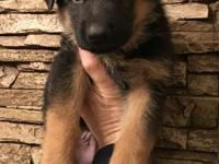 AKC West German Bloodlines Black Red , Black Tan