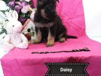 Daisy is AKC registered purebred German Shepherd puppy