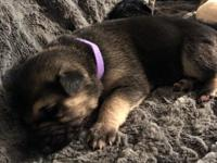 AKC registered German Shepherd puppies. Both parents