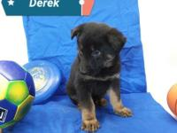 Derek is AKC registered purebred German Shepherd puppy