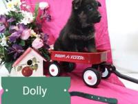 Dolly is AKC registered purebred German Shepherd puppy