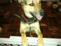 German Shepherd Dog - Quincey - Medium - Young - Female