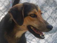 German Shepherd Dog - Reese - Medium - Senior - Female