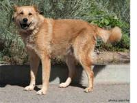 German Shepherd Dog - Rex - Large - Adult - Male - Dog