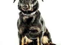 German Shepherd Dog - Ruger - Large - Baby - Male -