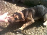 German Shepherd Dog - Sadie - Medium - Young - Female -