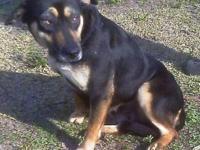 German Shepherd Dog - Sally - Medium - Adult - Female -