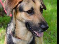 German Shepherd Dog - Santee 11828 - Large - Adult -