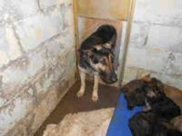 German Shepherd Dog - Sarah - Medium - Adult - Female -