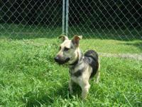 German Shepherd Dog - Sarge - Medium - Adult - Dog A