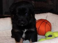 German Shepherd Dog - Selene - Medium - Baby - Female -