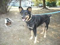 German Shepherd Dog - Shadow - Large - Adult - Female -