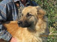 German Shepherd Dog - Simba - Large - Young - Male -
