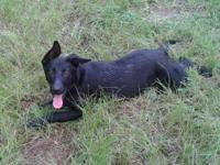 German Shepherd Dog - Smiley - Large - Young - Female -
