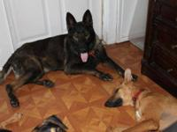 German Shepherd Dog - Storm - Large - Young - Female -