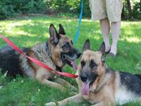 German Shepherd Dog - Summer - Large - Adult - Female -