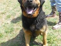 German Shepherd Dog - Tabby - Large - Young - Female -
