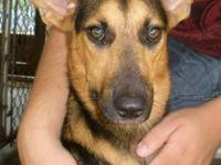German Shepherd Dog - Tiki - Medium - Young - Female -