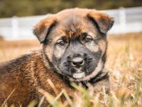 German Shepherd Dog - Tril - Medium - Baby - Female -