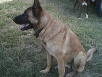 German Shepherd Dog - Tucker - Large - Young - Male -