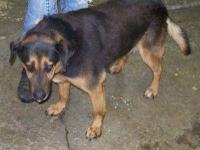 German Shepherd Dog - Walter - Medium - Adult - Male -