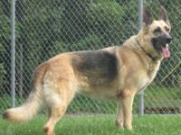 German Shepherd Dog - Xandria - Medium - Adult - Female