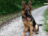 German Shepherd Dog - Xena - Large - Adult - Female -