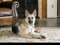 German Shepherd Dog - Zeus - Large - Adult - Male -
