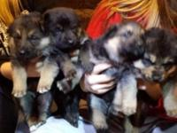 8 beautiful gs pups 4m 4f, they are black, tan,red and