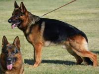 German Shepherd Dogs AKC OFA CERF/CAER DM DNA TC etc. -