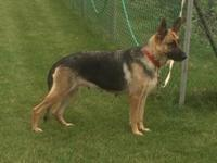 GERMAN SHEPHERD BLACK AND TAN 2 YEARS OLD FEMALE