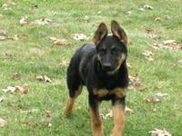 I have a Gorgeous German Shepherd female, AKC documents
