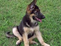 Lady is a sharp looking German Shepherd puppy with an