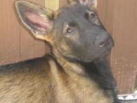 GERMAN SHEPHERD PUPPY FEMALES 100% CSZ LINES TOP OF THE