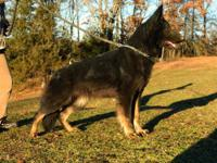 We have for sale two German Shepherd females. Mother 3