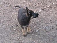 Full Blooded German Shepherd ladies puppies 5 offered.