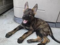 german shepherd female young puppies. extremely high