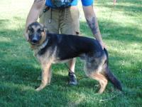 Lobo is an 9 month old male German Shepherd. He is