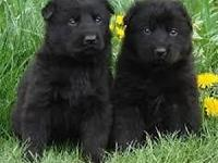 GERMAN SHEPHERD FULL BLACK PUPPIES 100% WORKING LINES